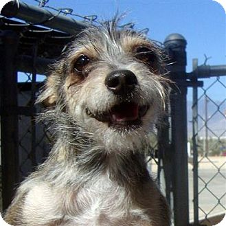 Terrier (Unknown Type, Small) Mix Dog for adoption in Thousand Palms, California - Duke