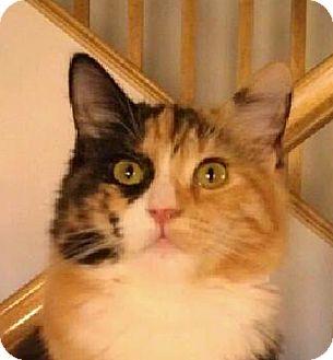 Calico Kitten for adoption in Winchester, California - Carol Ann