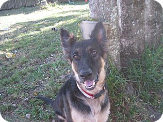 German Shepherd Dog Dog for adoption in Green Cove Springs, Florida - Ziggy