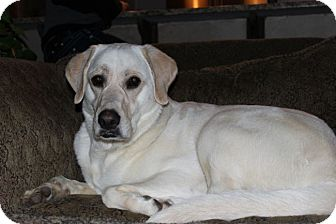 Labrador Retriever/Great Pyrenees Mix Dog for adoption in Cumming, Georgia - Marley