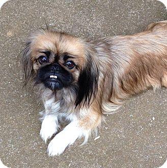 Pekingese Mix Dog for adoption in Spring Valley, New York - Dollee