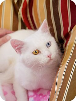 Domestic Shorthair Cat for adoption in Knoxville, Tennessee - Blanca