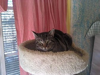 Domestic Shorthair Cat for adoption in Sherman Oaks, California - Donna
