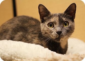 Domestic Shorthair Cat for adoption in Richmond, Virginia - Tess