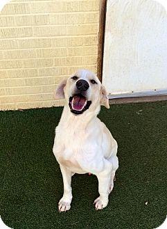 Labrador Retriever Mix Dog for adoption in Cumming, Georgia - Ace
