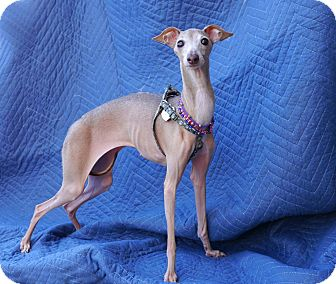 Italian Greyhound Dog for adoption in Argyle, Texas - Lil' Bit in Houston