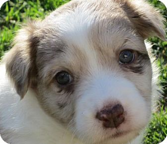 Australian Shepherd/Corgi Mix Puppy for adoption in Cary, North Carolina - Pippa--ADOPTED