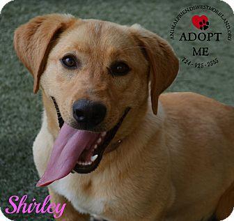 Labrador Retriever/Basset Hound Mix Dog for adoption in Youngwood, Pennsylvania - Shirley