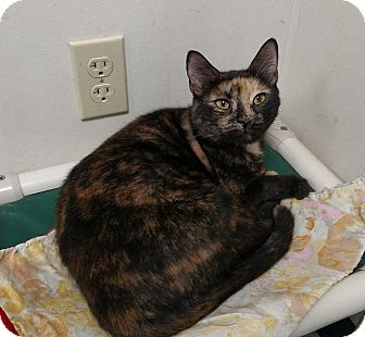 Domestic Shorthair Cat for adoption in Brooksville, Florida - PUMPKIN SPICE