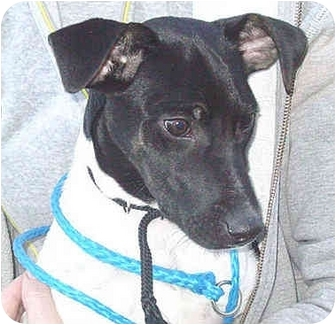 Fox Terrier (Smooth) Mix Puppy for adoption in Lake Odessa, Michigan - Topper