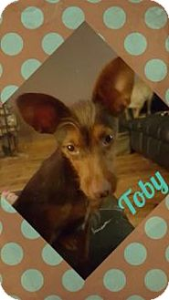 Miniature Pinscher Mix Dog for adoption in Walker, Louisiana - Toby