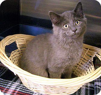 Domestic Mediumhair Kitten for adoption in Toledo, Ohio - Jackson