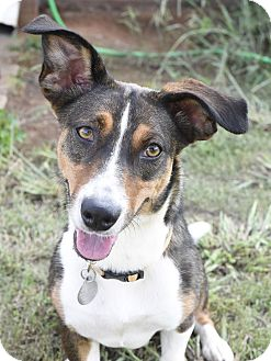 Terrier (Unknown Type, Small)/Corgi Mix Dog for adoption in Nashville, Tennessee - Hazel