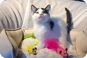 Domestic Shorthair Kitten for adoption in THORNHILL, Ontario - Torrance