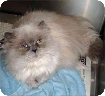 Persian Cat for adoption in Inman, South Carolina - Sophie