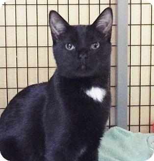Domestic Shorthair Cat for adoption in Grants Pass, Oregon - Micah