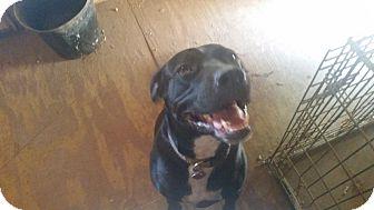Mastiff Mix Dog for adoption in Demorest, Georgia - Stuart Little
