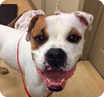 American Bulldog/Boxer Mix Dog for adoption in Spokane, Washington - Dozer