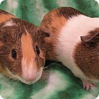 Adopt A Pet :: Luey - Steger, IL