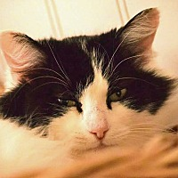 Domestic Longhair Cat for adoption in Palo Cedro, California - Fancy