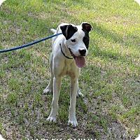 Adopt A Pet :: Harley Quinn - Washington, GA