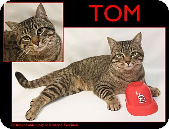 American Shorthair Cat for adoption in Cuba, Missouri - Tom