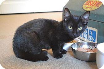 Domestic Shorthair Kitten for adoption in Trenton, New Jersey - Venus