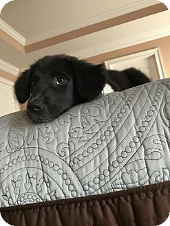 Border Collie/Mixed Breed (Medium) Mix Puppy for adoption in Nanuet, New York - Mollie