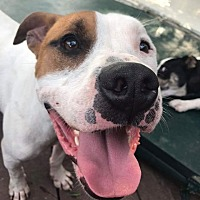 Pit Bull Terrier Mix Dog for adoption in Germantown, Ohio - Dillinger