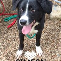 Border Collie Mix Dog for adoption in Chattanooga, Tennessee - Simon