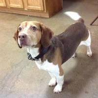 Beagle Mix Dog for adoption in Oxford, Wisconsin - PeeWee