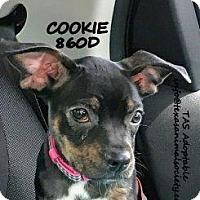 Adopt A Pet :: Cookie - Spring, TX