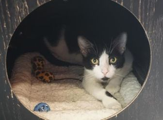 Domestic Mediumhair/Domestic Shorthair Mix Cat for adoption in Farmington, New Mexico - Thrice
