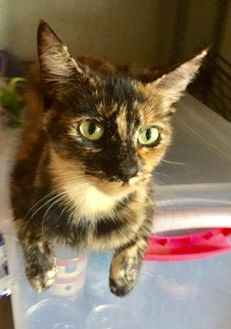 Domestic Shorthair/Domestic Shorthair Mix Cat for adoption in Bartlesville, Oklahoma - Amethyst