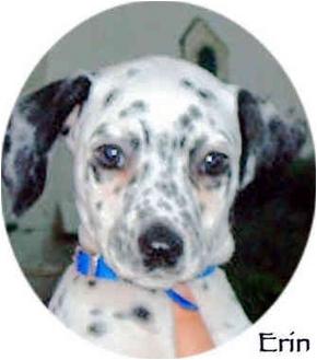 Dalmatian Puppy for adoption in Mandeville Canyon, California - Erin