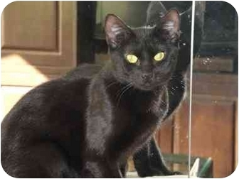 Bombay Cat for adoption in Long Beach, New York - Marlee