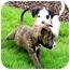 Photo 2 - Boxer/Shepherd (Unknown Type) Mix Puppy for adoption in Vista, California - Coco