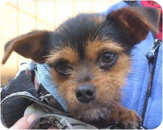 Terrier (Unknown Type, Small) Mix Dog for adoption in Sonoma, California - Pixie
