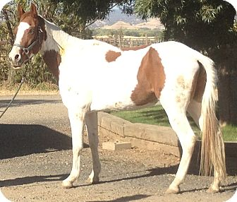 Paint/Pinto/Gaited Mix for adoption in Sac, California - Sunny