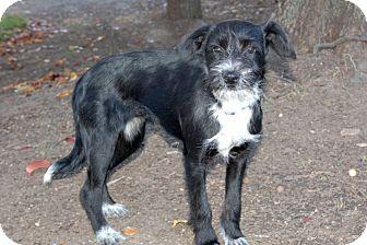 Schnauzer (Standard)/Terrier (Unknown Type, Medium) Mix Puppy for adoption in Lexington, Kentucky - Dionne