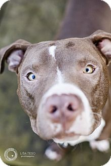 American Pit Bull Terrier Dog for adoption in Portland, Oregon - Dallas (foster)