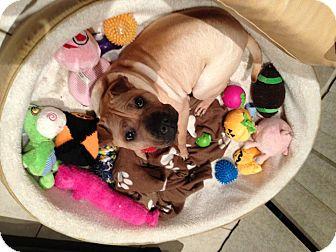 Shar Pei Dog for adoption in Mira Loma, California - China