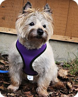 Terrier (Unknown Type, Small) Mix Dog for adoption in Bellingham, Washington - Nicky