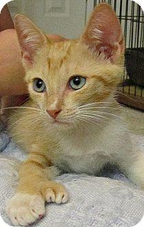 Hemingway/Polydactyl Kitten for adoption in Seminole, Florida - Chandler
