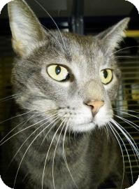 Domestic Mediumhair Cat for adoption in Lincolnton, North Carolina - Toby