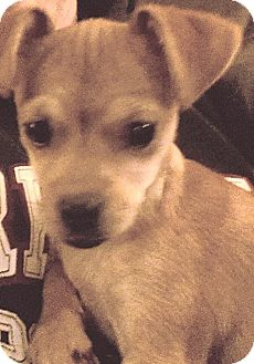 Chihuahua Mix Puppy for adoption in Rancho Cucamonga, California - Sophie