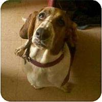 Basset Hound Dog for adoption in Acton, California - Luke