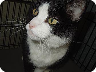 Domestic Shorthair Cat for adoption in Medina, Ohio - MooShoo