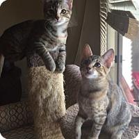 Adopt A Pet :: Sabrina and Katrina - Chandler, AZ
