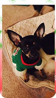 Terrier (Unknown Type, Small)/Chihuahua Mix Dog for adoption in Las Vegas, Nevada - Spunky